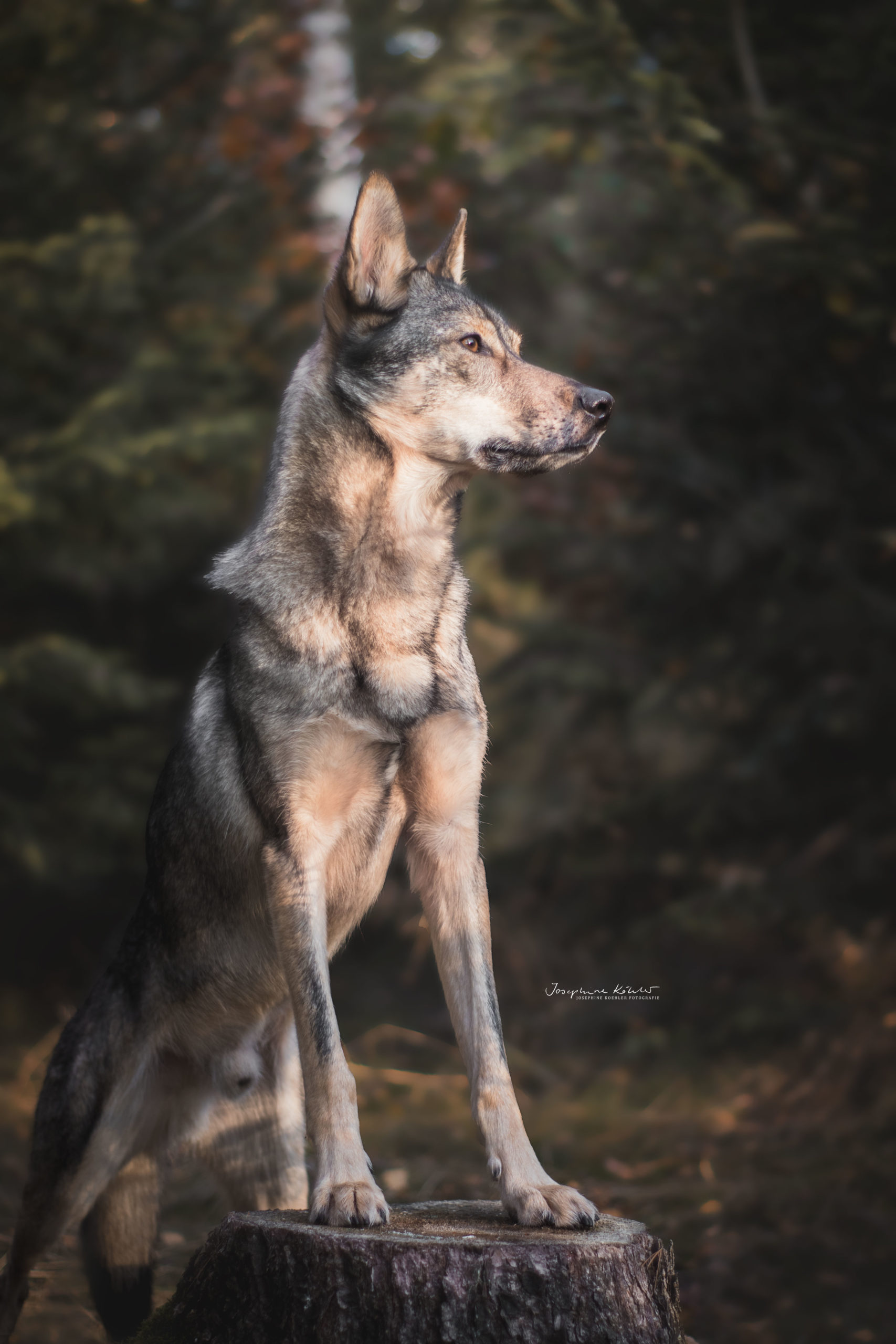 Hundefotografie Josephine Köhler Chemnitz