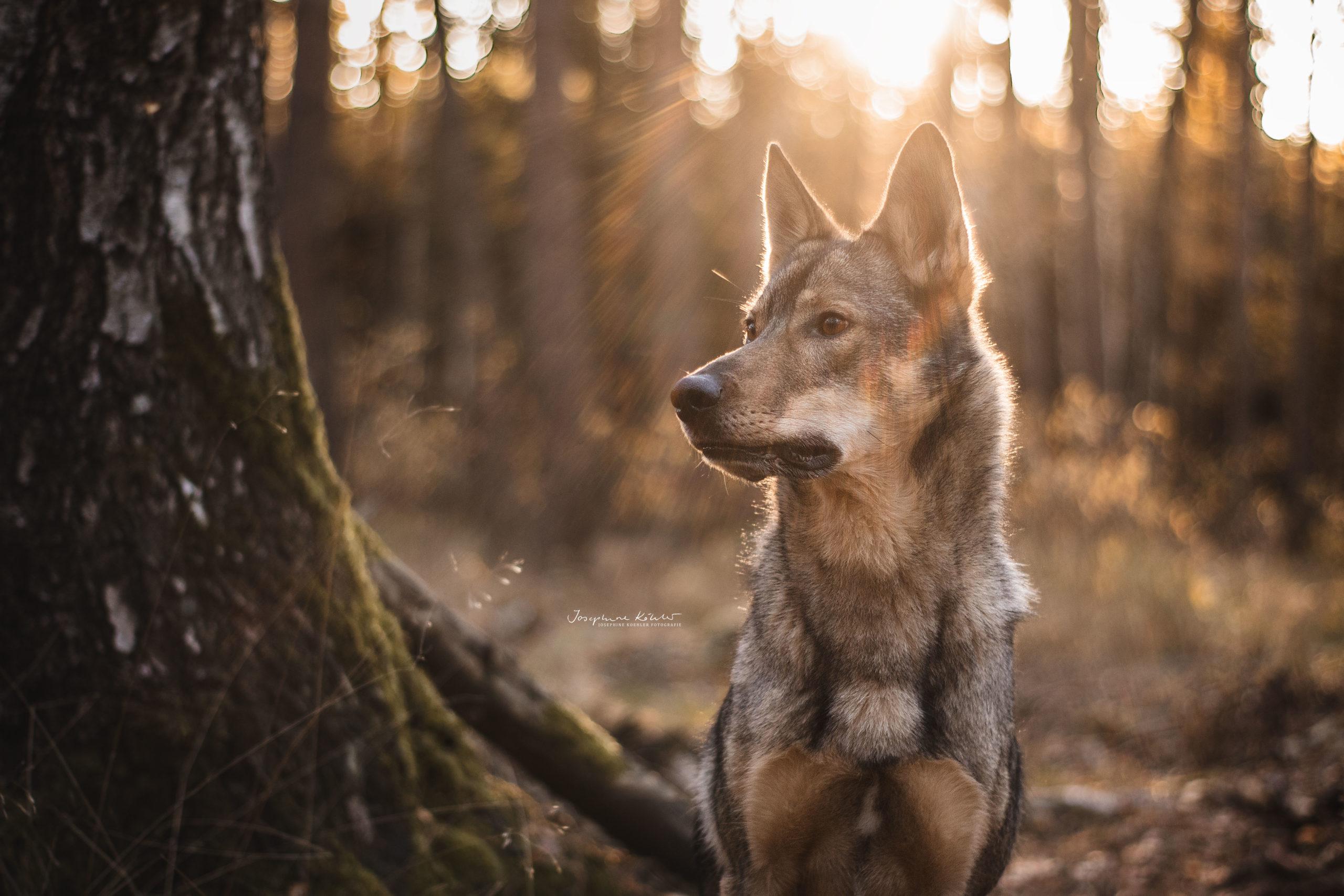 Hundeporträt Josephine Köhler Fotografie