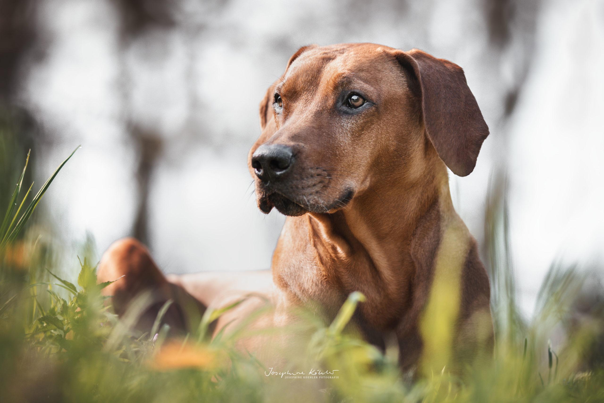 Hundeportrait Brandenburg Hundefotografie